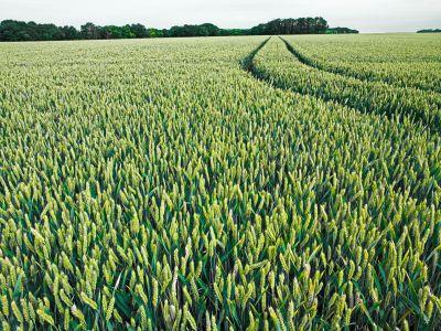 Champ de blé à Auveres-sur-Oise - Erik Hesmerg -  Avec l'autorisation de l'Office de Tourisme d'Auvers-sur-Oise